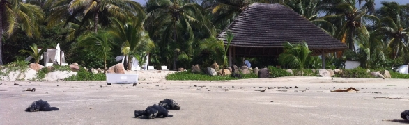 Imanta guests join in baby turtle releases
