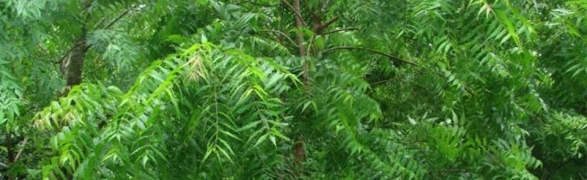 Organic Select's Healthy living tips: Neem-a local wonder remedy