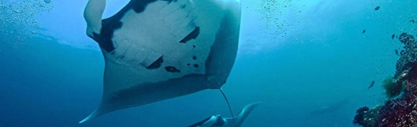 Guest post by Proyecto Manta: Manta Rays are not long-commuters