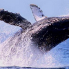 Whale-watching season in Riviera Nayarit