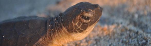 Summer is Turtle Season in Punta Mita!