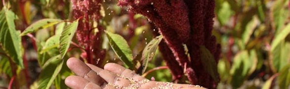 Eat local: Organic Select shares all about Amaranth