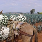 Agave - Tequila, Jalisco